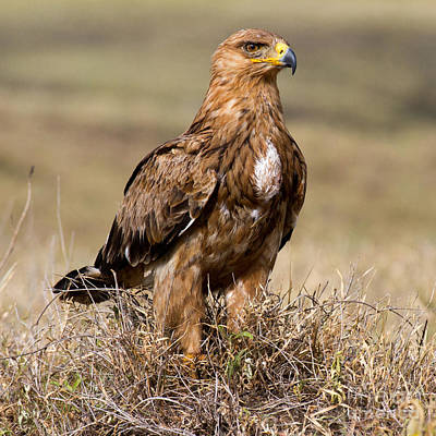 Photograph - African Tawny Eagle by Chris Scroggins