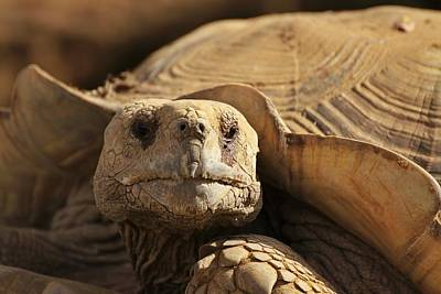 Photograph - African Tortoise by Dave Hall