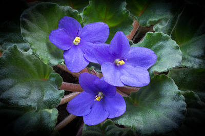 Photograph - African Violet by Kenneth Cole