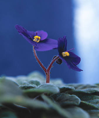 Art Print featuring the photograph African Violet by Lana Enderle
