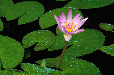 Photograph - African Waterlily by Nigel Dennis