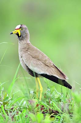 Lapwing Wall Art - Photograph - African Wattled Plover by Peter Chadwick/science Photo Library