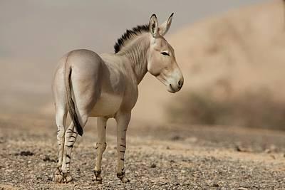 African Wild Ass (equus Africanus) Art Print