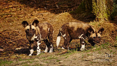 Photograph - African Wild Dog Puppies by Nick  Biemans