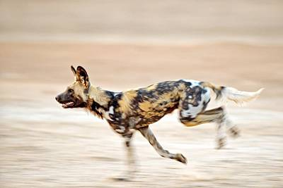 African Wild Dog Photograph by Science Photo Library