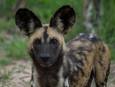 Photograph - African Wild Dog by Havard Rosenlund