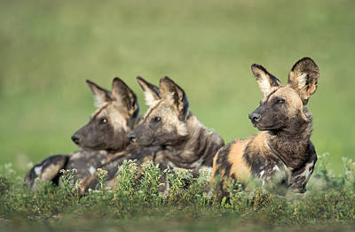 Carnivorous Photograph - African Wild Dogs Lycaon Pictus by Panoramic Images