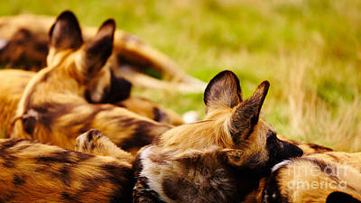 Photograph - African Wild Dogs  by Nick  Biemans