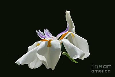 Photograph - African Wild Iris Rectangular Frame by Byron Varvarigos