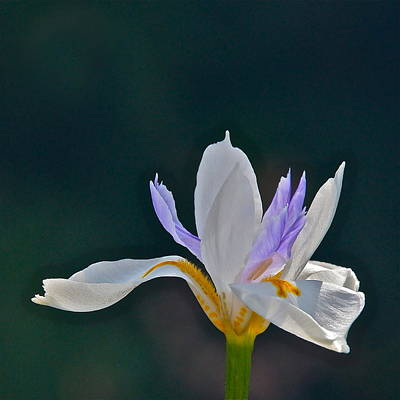 Photograph - African Wild Iris Square Frame by Byron Varvarigos