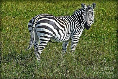 African Zebra Art Print