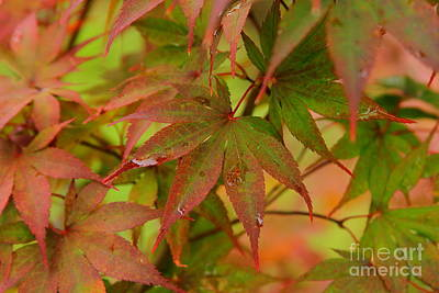 Chinese Red Maple Tree Photograph - After The Rain Japanese Maple Leaves by Reid Callaway