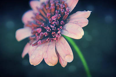 Daisy Photograph - After The Rain  by Laurie Search