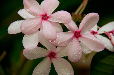 Photograph - After The Rain - Pink Plumeria by John Black