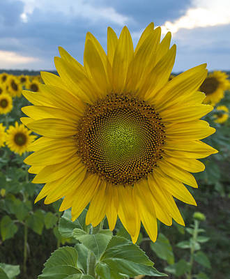 Photograph - After The Rain Sunflower Augusta Nj by Terry DeLuco