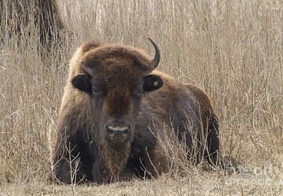 Photograph - Afternoon Prairie Buffalo by David Cutts
