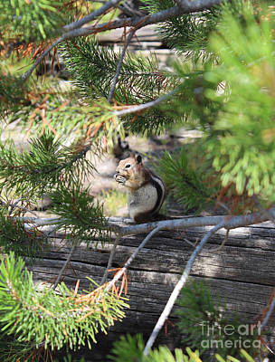 Pine Trees Photograph - Afternoon Snack by Kathleen Garman