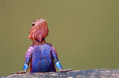 Agama Photograph - Agama Lizard Kenya Africa by Panoramic Images
