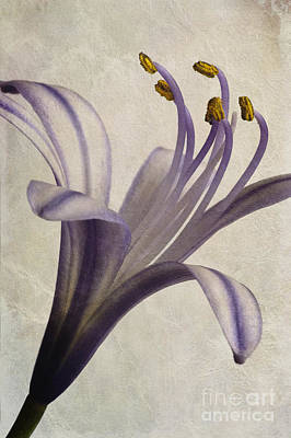 Macro Digital Art - Agapanthus Africanus Star by John Edwards