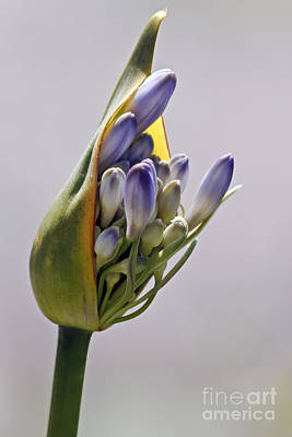 Photograph - Agapanthus Blue by Kate Brown
