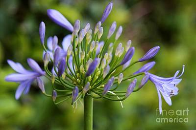 African Lily Photograph - Agapanthus  by Carol Groenen