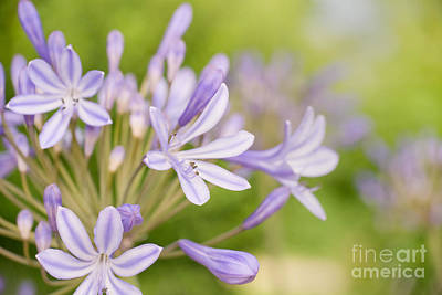 Agapanthus Photograph - Agapanthus by Delphimages Photo Creations
