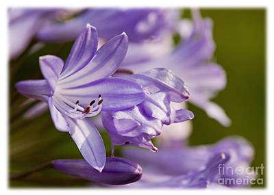 Art Print featuring the photograph Agapanthus by Liz  Alderdice