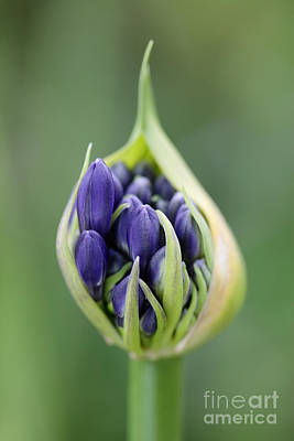 Cape Lily Photograph - Agapanthus Praecox Purple Delight by Neil Overy