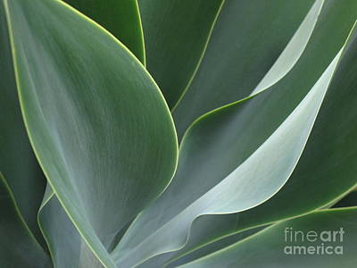 Art Print featuring the photograph Agave 3 by Ranjini Kandasamy