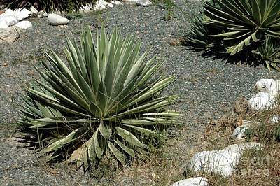 Photograph - Agave by Angela Kail