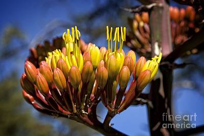 Photograph - Agave Blooms by Ron Chilston