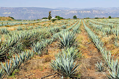 Production Photograph - Agave Cactus Field In Mexico by Elena Elisseeva