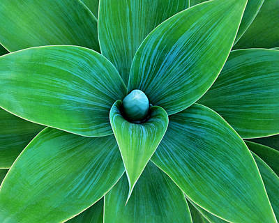 Photograph - Agave by Juj Winn