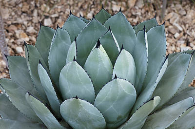 Art Print featuring the photograph Agave by Lana Enderle