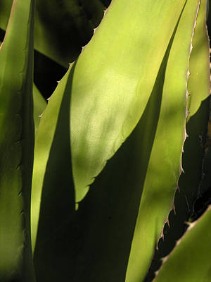 Photograph - Agave by Robert Lozen