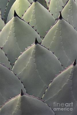 Photograph - Agave Spines by Kevin Schafer