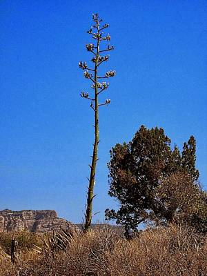 Photograph - Agave Tree by Philomena Zito