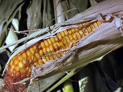 Photograph - Aged Corn And Stalks by Janice Drew