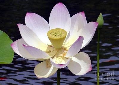 Photograph - Aging Lotus by Barbie Corbett-Newmin