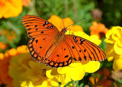 Photograph - Agraulis Vanillae-gulf Fritillary Butterfly On Marigolds by Jeff at JSJ Photography