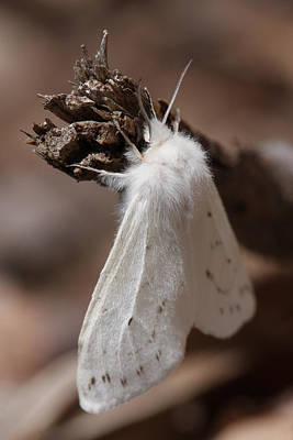 Photograph - Agreeable Tiger Moth by Daniel Reed