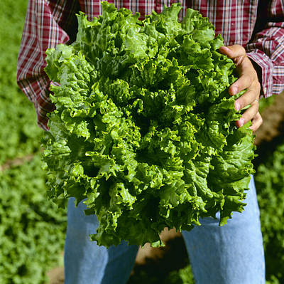 Lettuce Photograph - Agriculture - A Farmer Holds A Healthy by Ed Young