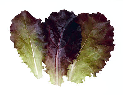 Agriculture - Baby Red Leaf Lettuce Art Print by Ed Young