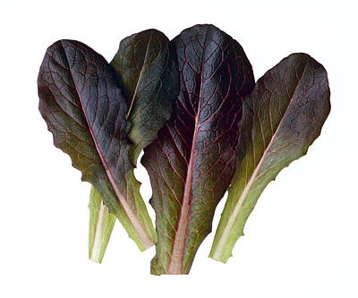 Agriculture - Baby Red Romaine Leaves Art Print by Ed Young