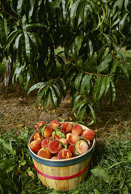 Of Peaches Photograph - Agriculture - Bushel Basket Of Jim by Thomas Schneider
