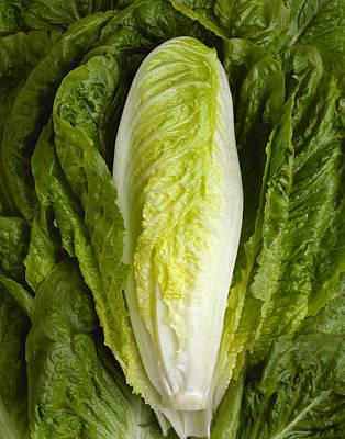 Agriculture - Closeup Of A Romaine Art Print by Ed Young