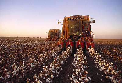 Agriculture - Cotton Harvesting  San Art Print by Ed Young