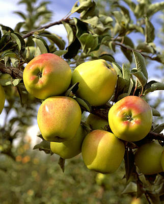 Agriculture - Criterion Apples Print by Gary Holscher