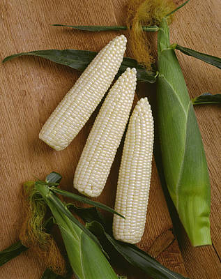 Sweet Corn Farm Photograph - Agriculture - Ears Of Sweet White Corn by Ed Young