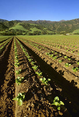 Romaine Lettuce Photograph - Agriculture - Field Of Early Growth by Ed Young